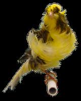 Burung Kenari - Solusi Penangkaran Burung Kenari -  Kode Ring Kenari Import Pada Negara Chili