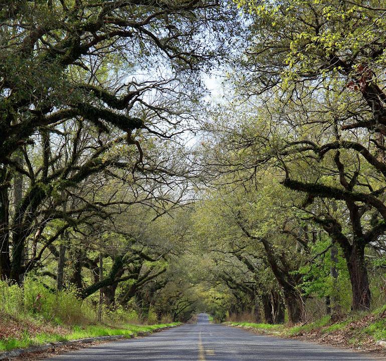 Oak Allée near Bolton, Mississippi