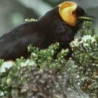 Burung Penghisap-madu elok, termasuk burung cenderawasihkah