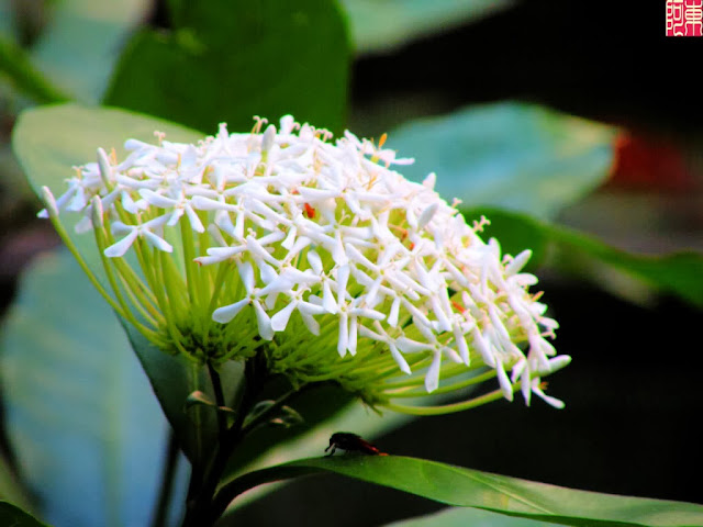 Vẻ đẹp của loài bông hoa Trang tự nhiên & bonsai