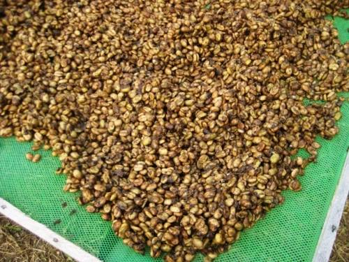 Civet coffee process - photo#11
