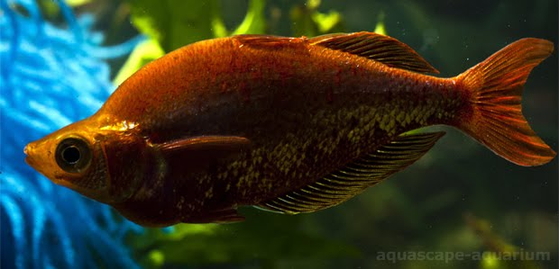 Tropical Red Irian Rainbowfishes for Freshwater Aquarium Plants