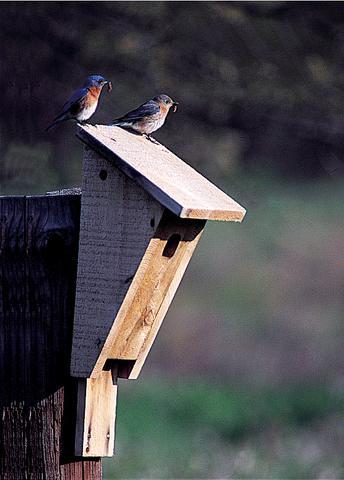 bluebirds+on+peterson+box