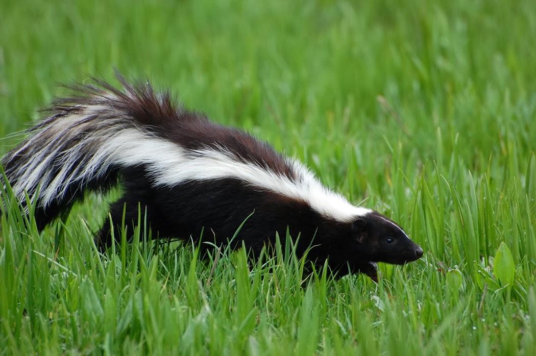 Skunk Tail