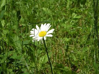 sunny daisy, ely mn, http://huismanconcepts.com/