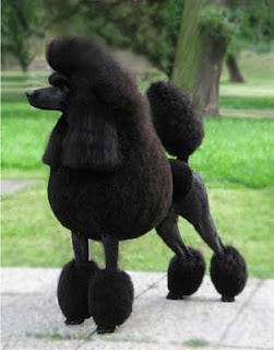 Anjing poodle Lucu