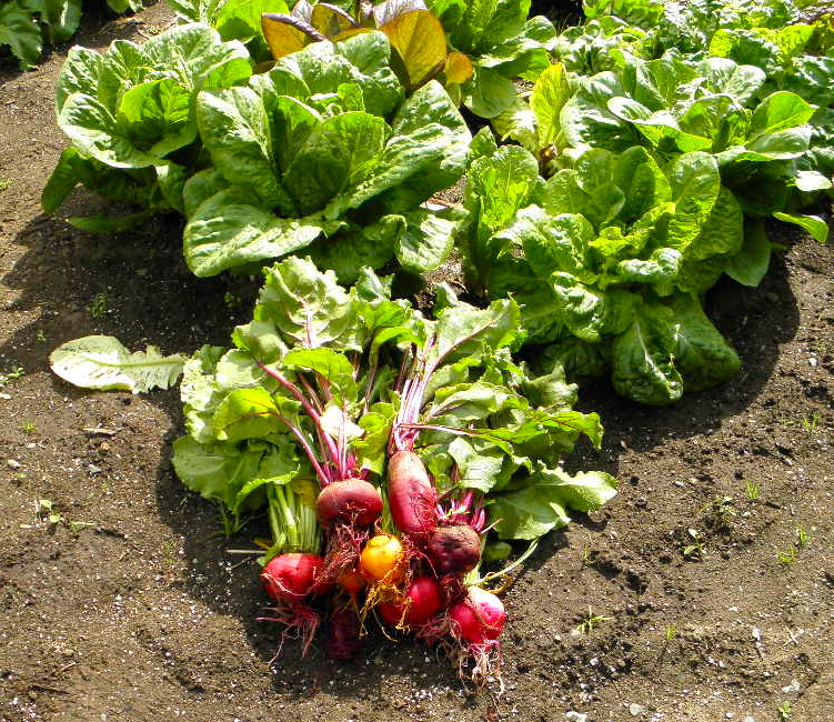 Four kinds of beets, picked, in front of fully mature Romaine lettuces.