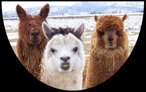 smiling alpacas