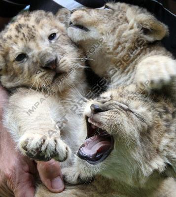 Лъвчета зоопарк Разград