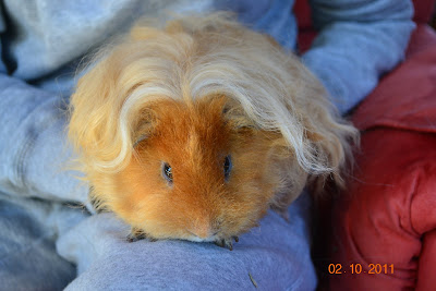Undercover guinea pigs mystery agent ted - Hamster agent secret ...