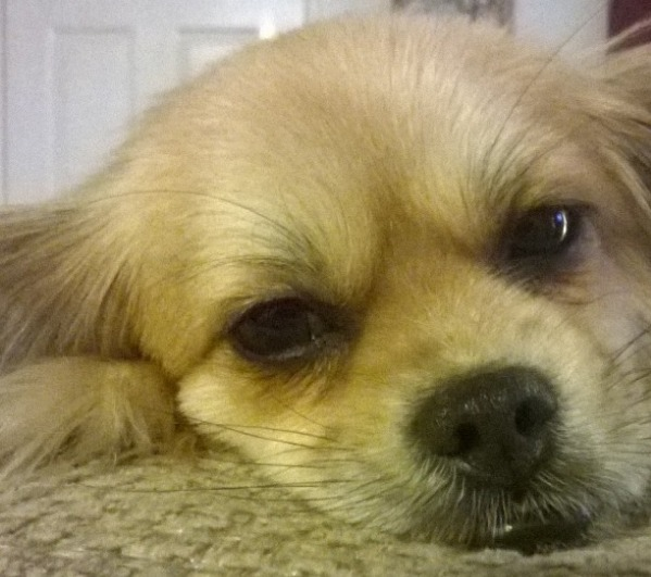 Simply Sassy Spaniel
