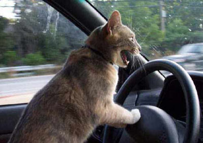 Funny Cat Driving Car