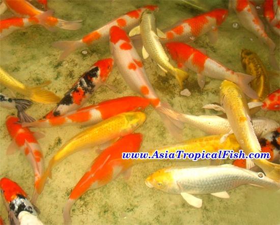 Aquarium fish store aquarium fish export koi fish for Koi fish store