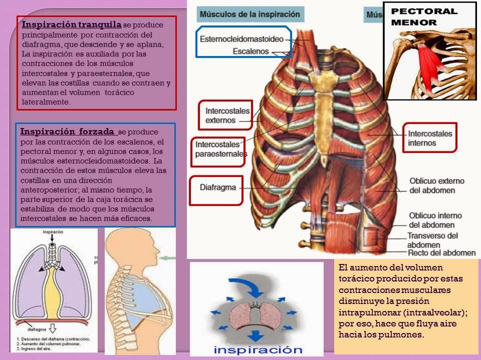 MECÁNICA DE LA RESPIRACIÓN- | Blog de Fisiología Médica