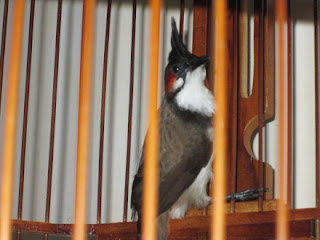 Artikel kali ini membahas cara perawatan burung kutilang jambul, setidaknya agar mampu menjadi penyanyi di rumah, sebab belum ada kelas khusus untuk burung kutilang jambul ini. Selain itu, belum diketahui apakah sudah ada kutilang jambul yang berlaga di kelas campuran impor.  Sebagian teknik perawatan juga dapat diaplikasikan bagi kicaumania yang ingin menangkarnya, atau dijadikan salah satu bahan untuk disilangkan dengan burung dari marga Pycnonotus lainnya, seperti trucukan, kutilang, dan cucakrowo.  Jika nantinya bermunculan sejumlah penangkar kutilang jambul, niscaya makin banyak jumlah kicaumania yang memeliharanya, karena ocehan kualitas jambul memang dahsyat. Bukan tidak mungkin suatu saat nanti ada event organizer (EO) yang membuka kelas kutilang jambul.    Tips Merawat burung Kutilang Jambul Yang Sederhana  Sangkar dan perlengkapannya. Dari sekian banyak jenis sangkar, ada dua bentuk yang palin baik untuk kutilang jambul thailand yaitu segi empat dan bulat Penempatan sangkar, sangkar sebaiknya di tempatkan di lingkungan yang tenang atau jauh dari gangguan apa pun. Tempat tersebut terlindung dari hembusan angin kencang dan sinar matahari yang berlebihan di siang hari. Tempat yang sejuk dan terlindung dapat membuat burung bakalan lebih tenang dan cepat berkicau Pemilihan Burung Kutilang Jambul  Sebagaimana burung dari keluarga cucak-cucakan lainnya, sexing atau cara membedakan jenis kelamin pada kutilang jambul relatif sulit untuk dilakukan, karena burung jantan dan betina memiliki beberapa kesamaan. Namun beberapa tips dari kicaumania negara tetangga bisa kita jadikan tengara untuk membedakan burung jantan dan betina :  Burung jantan lebih sering berkicau dengan suara ngerol, sedangkan burung betina hanya ngeban -ngeban saja. Dengan meraba supit udang atau tulang sumpitnya. Jika supit udang terasa rapat, berarti burung jantan. Jika longgar, itu menandakan burung betina.urung muda dan burung dewasa Di pasaran beredar kutilang jambul dalam berbagai usia. Karen