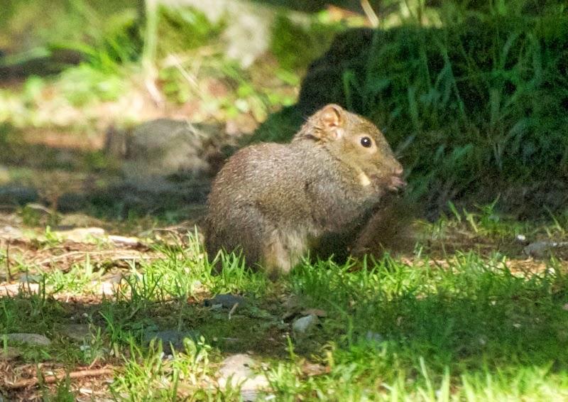 Perny's Long-nosed Squirrel (Dremomys pernyi owstoni)
