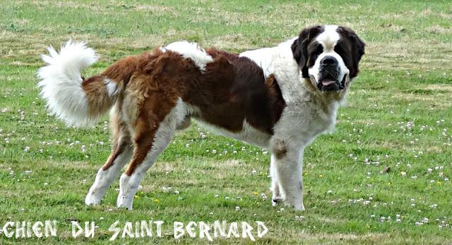 chien du saint-bernard