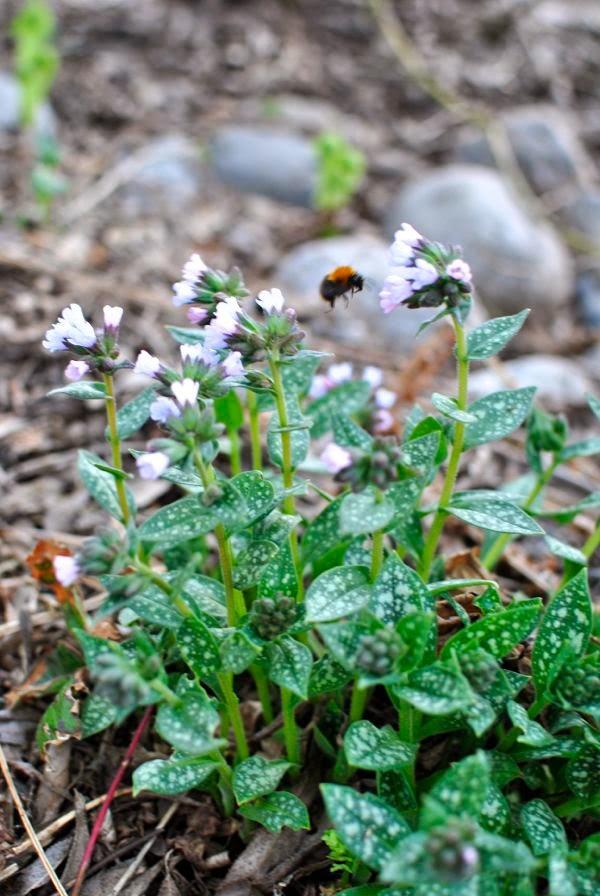 brokbladig lungört humla trädgård