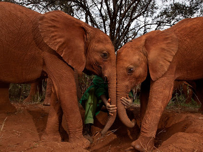 Orphan Elephants, Kenya