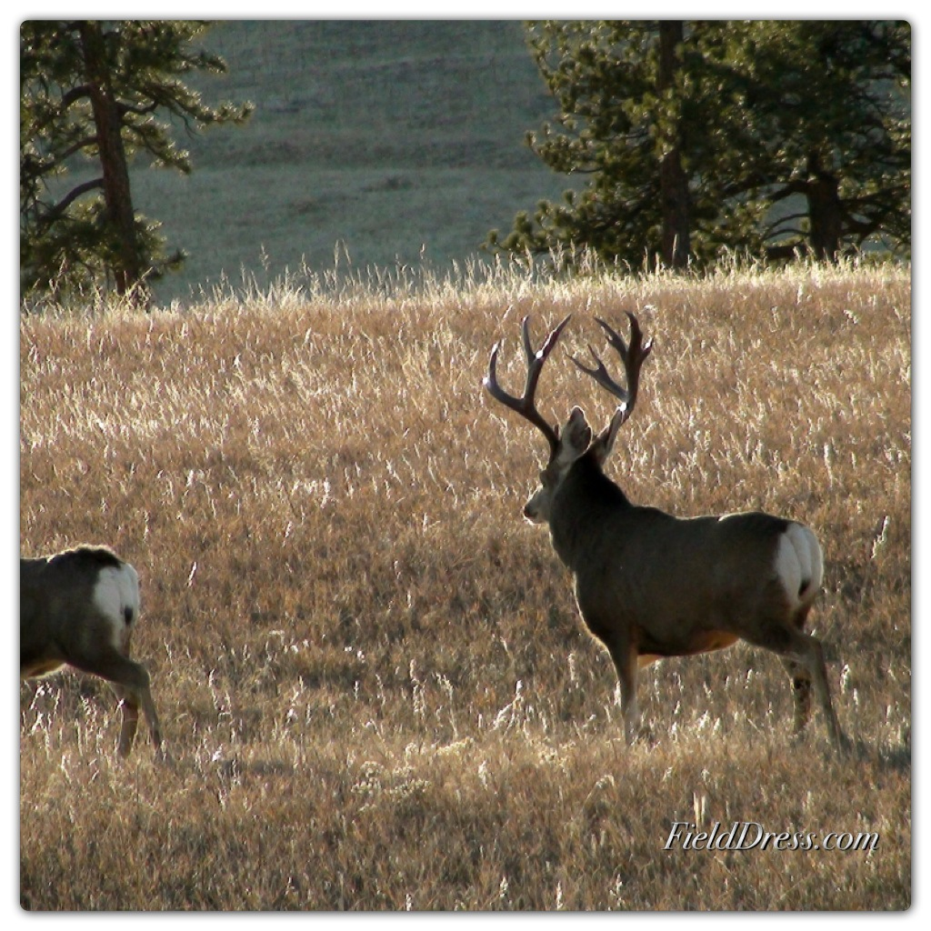 deer, buck, rut, field dress