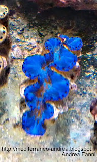 Tridacna maxima blu
