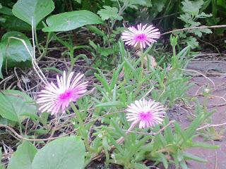 写真:ピンク色の小さい花