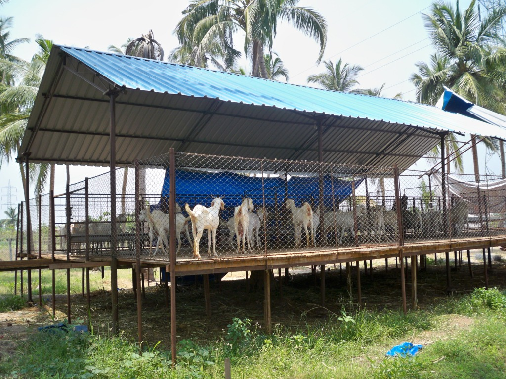 Suresh Devaraj Goat Farm Goat Shed