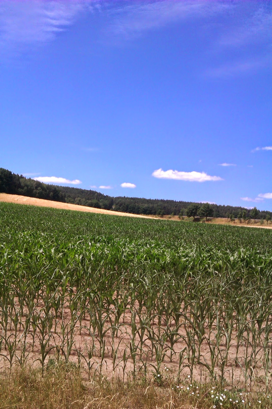 Mais in Deutschland