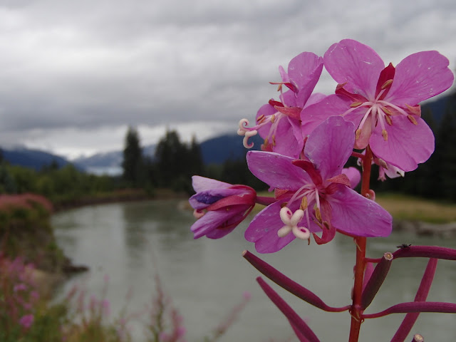 Fireweed, Mendenhall River, and Mendenhall Glacier