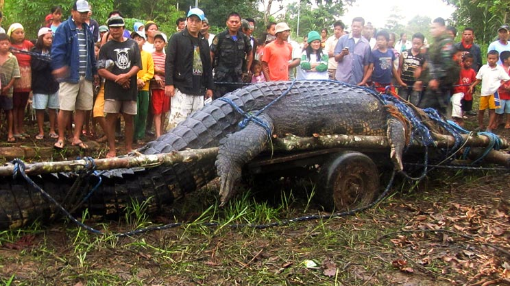 Biggest Crocodile Ever Caught?