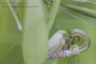 langue de bouc orchidee sauvage