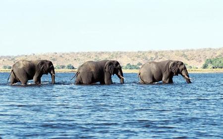 Cuatro elefantes se balanceaban