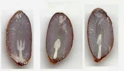 Il seme dei cachi contiene tre simboli di posate 1970424_10201804574735858_1457516841_n