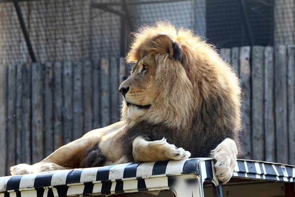 Leu gradina zoo Bucuresti