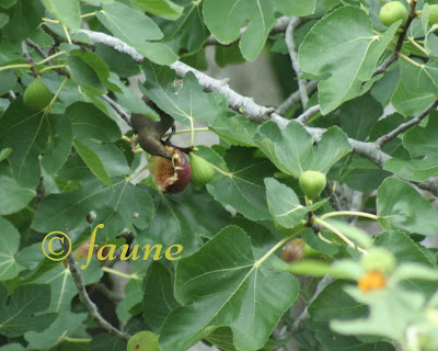 Grackle eating fig