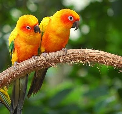 Yellow Parrot Birds 2