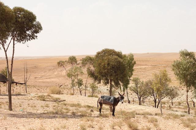 donkey in agafay