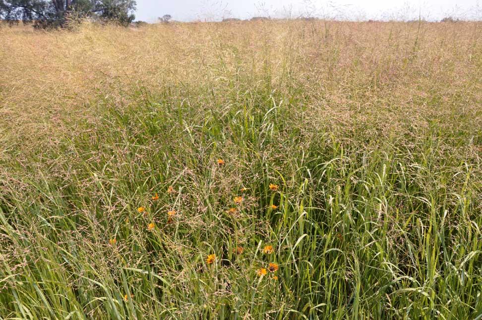 prairie grass how tall