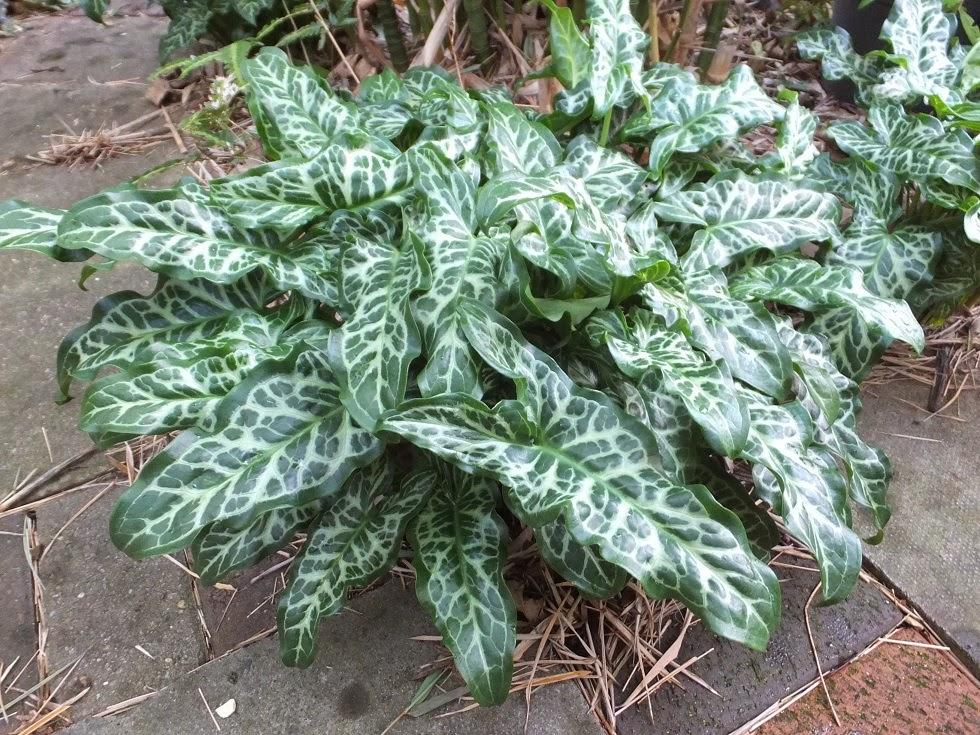 Arum italicum subsp. italicum 'Marmoratum'