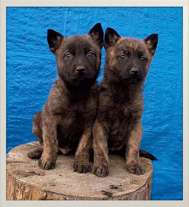 About Dog Dutch Shepherd Training Your Dutch Shepherd To Listen To You