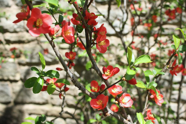 blooming quince via Meet Me in Philadelphia
