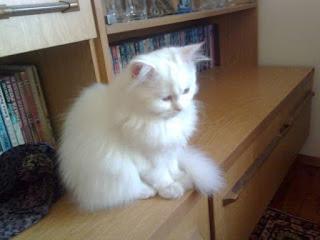 Как да се грижим за персийските котки