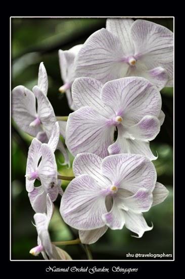 Bunga Anggrek, National Orchid Singapore, Singapura, Orchid