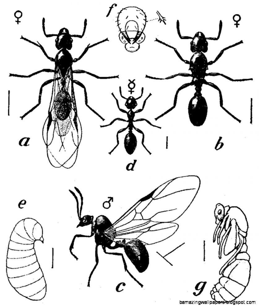 Pavement ant   Wikipedia the free encyclopedia