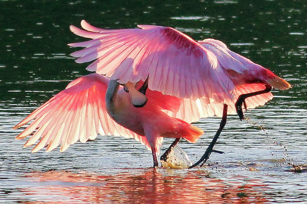 Dallas Trinity Trails: Roseate Spoonbills Wild Passage To The ...