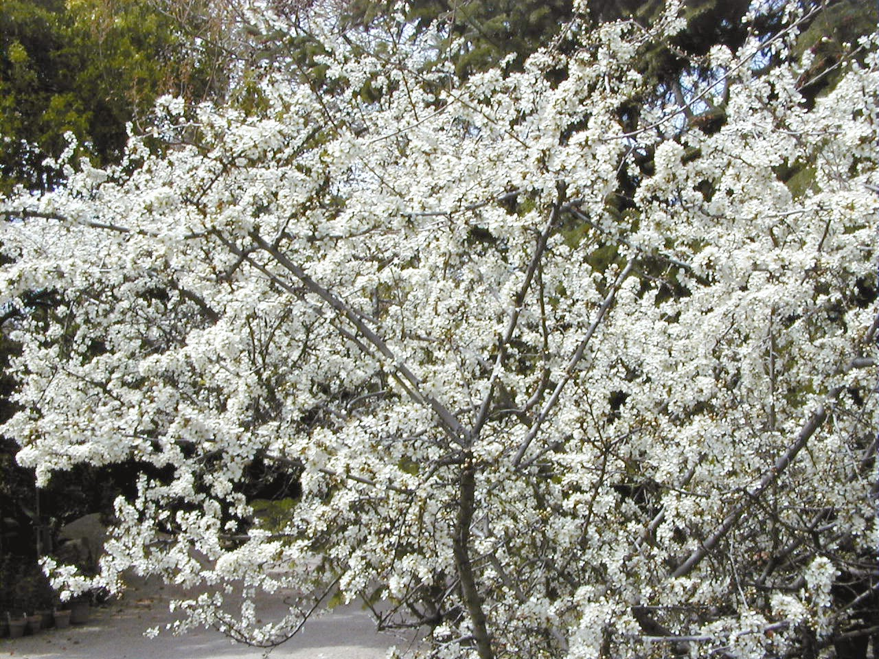 blackthorn tree - photo #27
