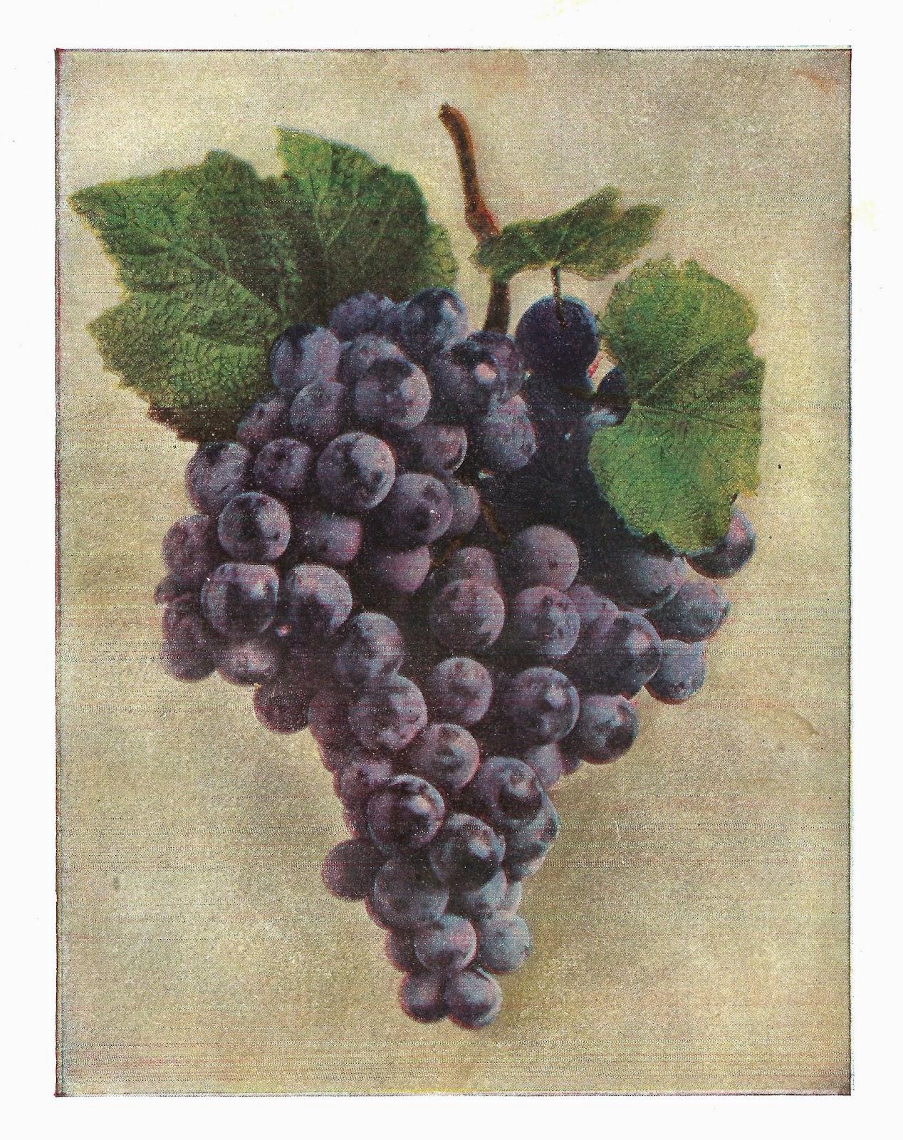 http://3.bp.blogspot.com/-vnHu_hSDqVk/U1Qkl1q8kII/AAAAAAAATqQ/9zrdQ44Yuew/s1600/purple_grapes.jpg