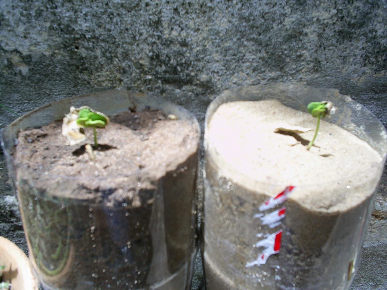 Como Plantar Sementes de Ipês Rosa,Roxo,Amarelo,Etc. 013