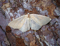 Latest New Macro Moth Species - Jersey Mocha