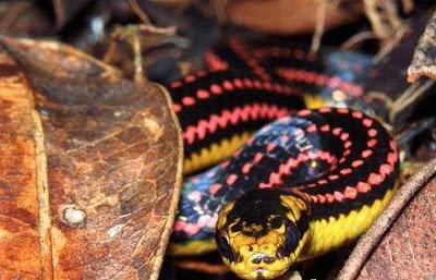 اغرب اانواع الثعابين في العالم 6.jpg